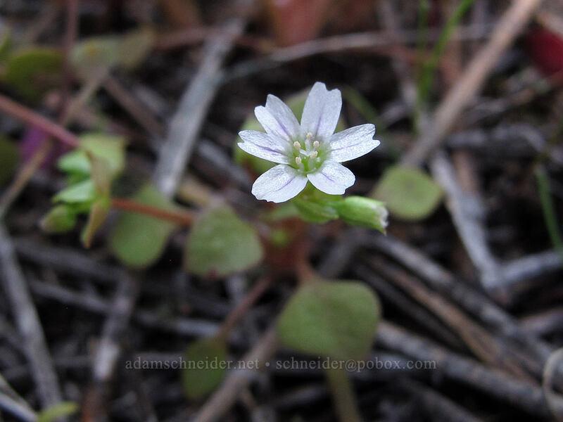 red miner's lettuce (Claytonia rubra ssp. rubra) [Sauer's Mountain Trail, Peshastin, Washington]