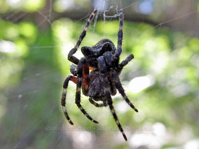 cat-faced spider (?) [Sauer's Mountain Trail, Peshastin, Washington]