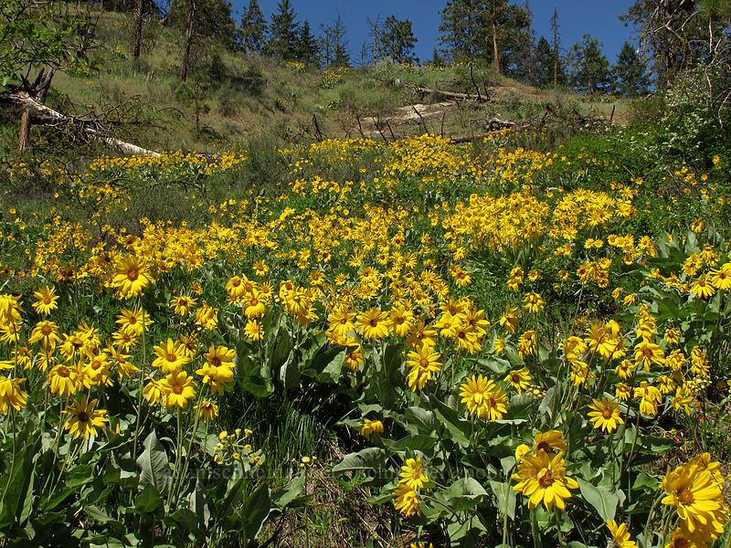 arrow-leaf balsamroot (Balsamorhiza sagittata) [Sauer's Mountain Trail, Peshastin, Washington]