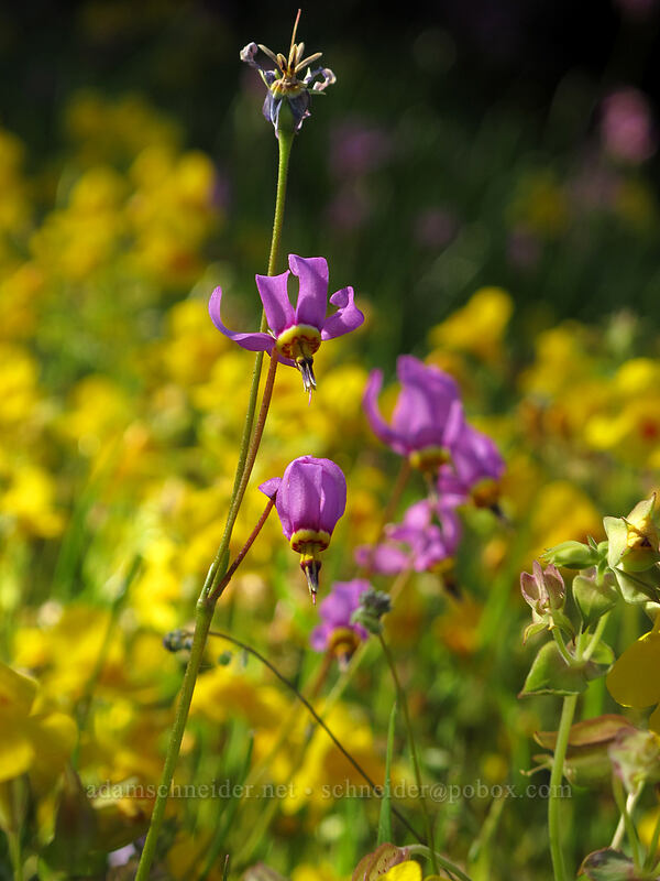 shooting stars & monkeyflower (Dodecatheon pulchellum, Erythranthe guttata (Mimulus guttatus)) [Sam Hill Preserve, Chelan County, Washington]