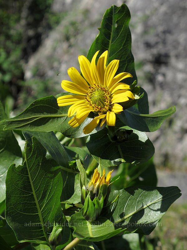 Carey's balsamroot (Balsamorhiza careyana) [Sam Hill Preserve, Chelan County, Washington]