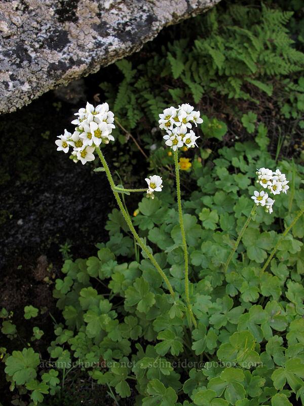 buttercup-leaf mock-brookfoam (Hemieva ranunculifolia (Suksdorfia ranunculifolia)) [Sam Hill Preserve, Chelan County, Washington]