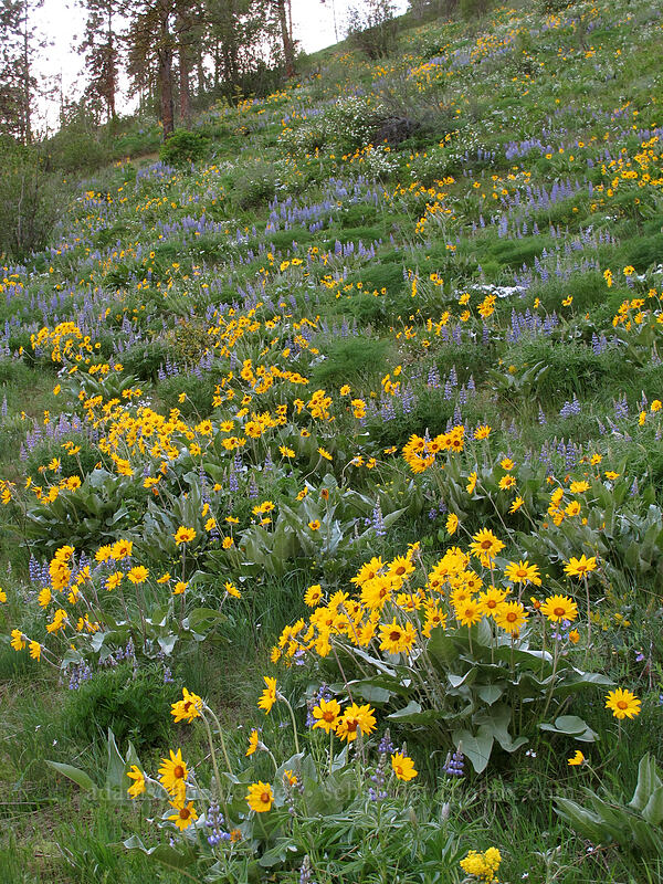 balsamroot & lupines (Balsamorhiza sagittata, Lupinus sp.) [Olalla Canyon Road, Chelan County, Washington]