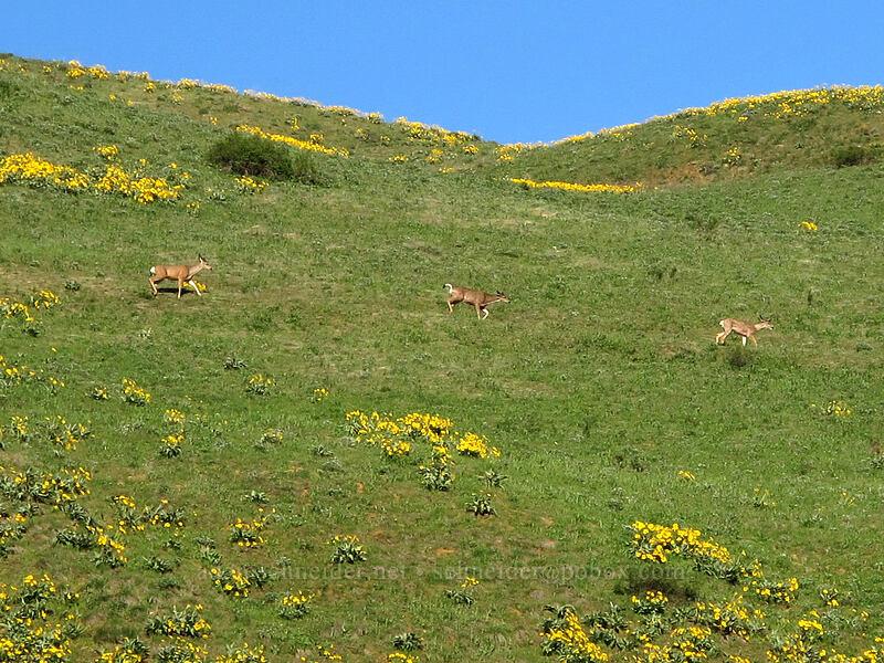 three deer & balsamroot (Odocoileus hemionus hemionus, Balsamorhiza sagittata) [Olalla Canyon Road, Chelan County, Washington]