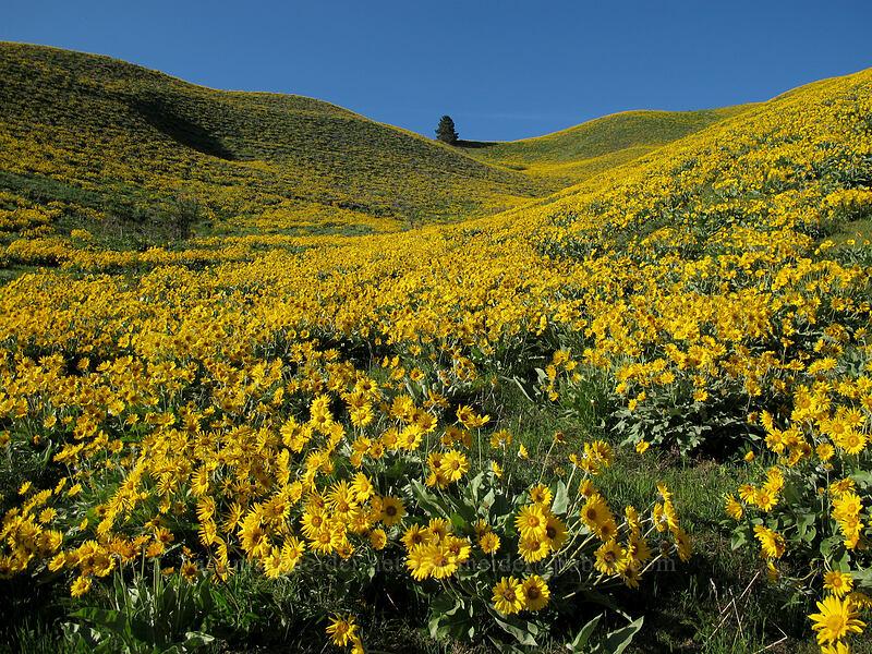 balsamroot (Balsamorhiza sagittata) [Olalla Canyon Road, Chelan County, Washington]