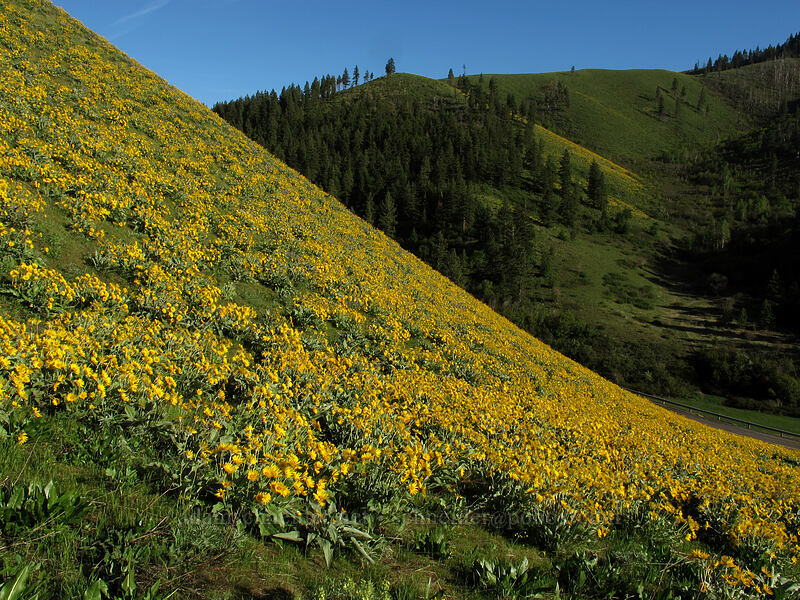 balsamroot (Balsamorhiza sagittata) [Olalla Canyon Road, Chelan County, Washington]