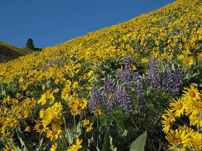 lupine & balsamroot (Lupinus sericeus, Balsamorhiza sagittata) [Olalla Canyon Road, Chelan County, Washington]