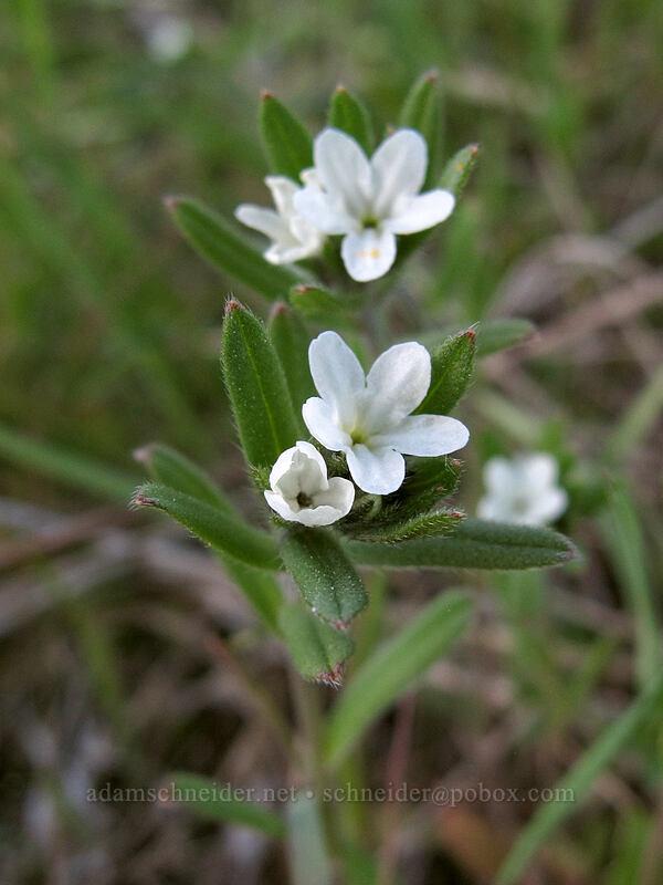 corn gromwell (Lithospermum arvense (Buglossoides arvensis)) [Olalla Canyon Road, Chelan County, Washington]
