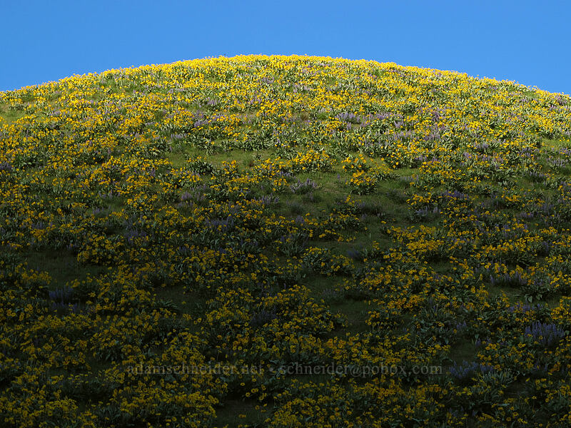 balsamroot & shadows (Balsamorhiza sagittata) [Olalla Canyon Road, Chelan County, Washington]