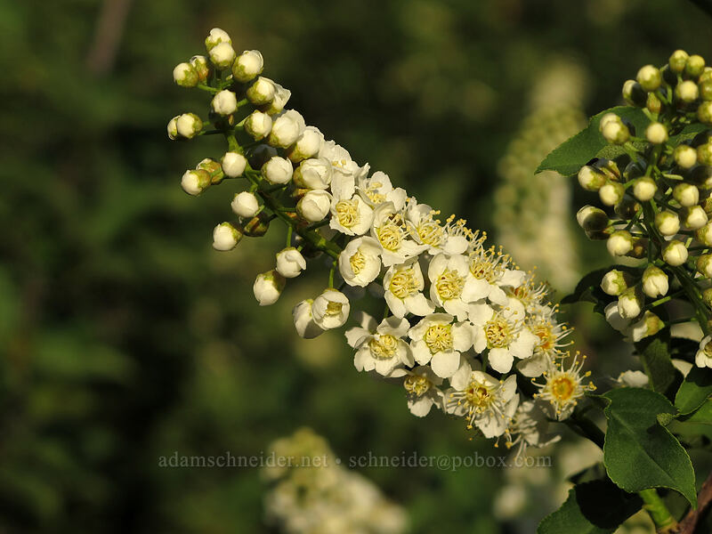 chokecherry flowers (Prunus virginiana var. melanocarpa) [Peshastin Pinnacles State Park, Chelan County, Washington]