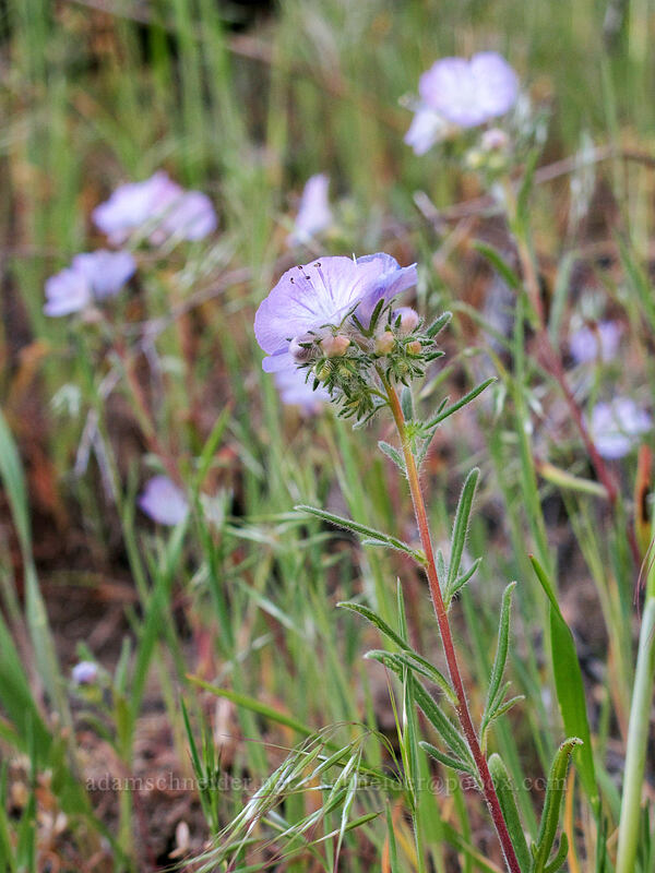 thread-leaf phacelia (Phacelia linearis) [Peshastin Pinnacles State Park, Chelan County, Washington]