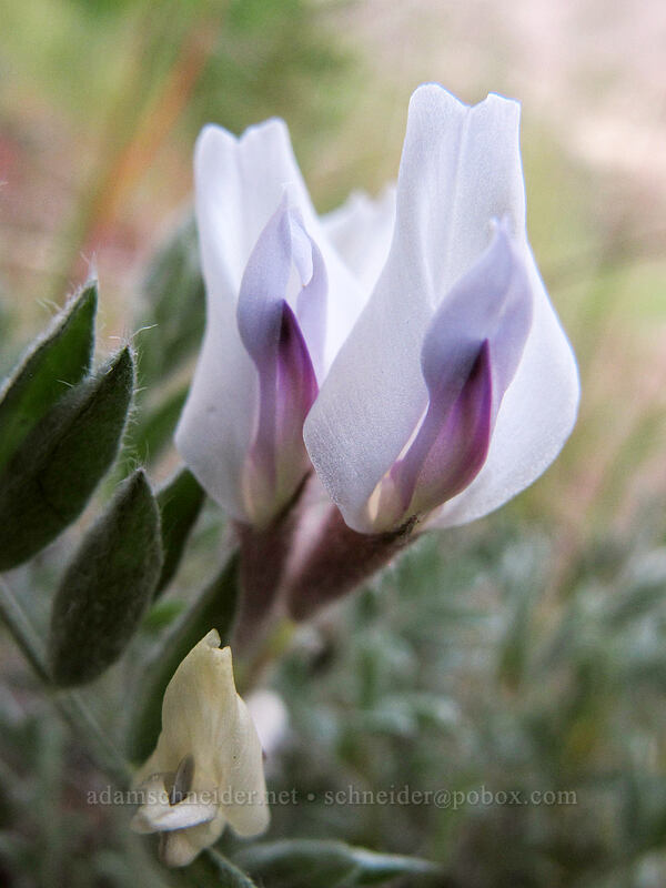 woolly-pod milk-vetch (Astragalus purshii) [Peshastin Pinnacles State Park, Chelan County, Washington]