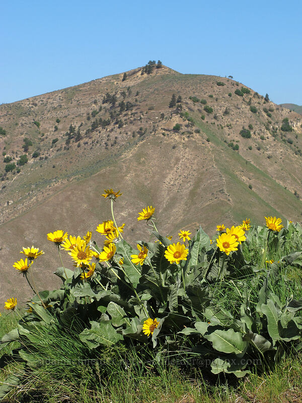 balsamroot & Chopper Peak (Balsamorhiza sagittata) [Saddle Rock Trail, Wenatchee, Washington]