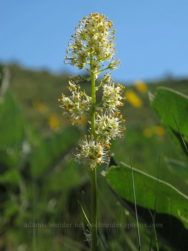 panicled death-camas (Toxicoscordion paniculatum (Zigadenus paniculatus)) [Saddle Rock Trail, Wenatchee, Washington]