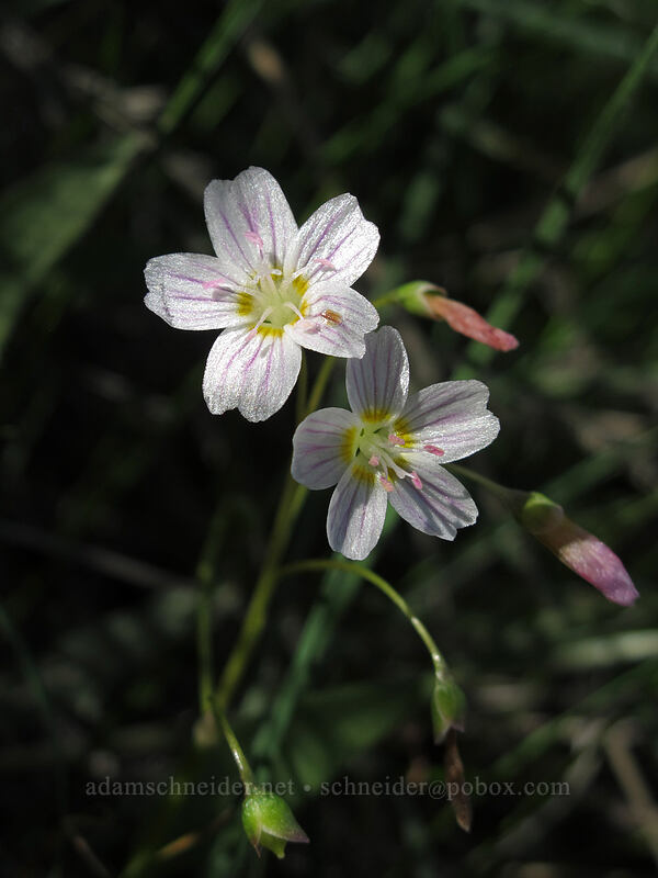 lance-leaf spring beauty (Claytonia lanceolata) [Saddle Rock Trail, Wenatchee, Washington]
