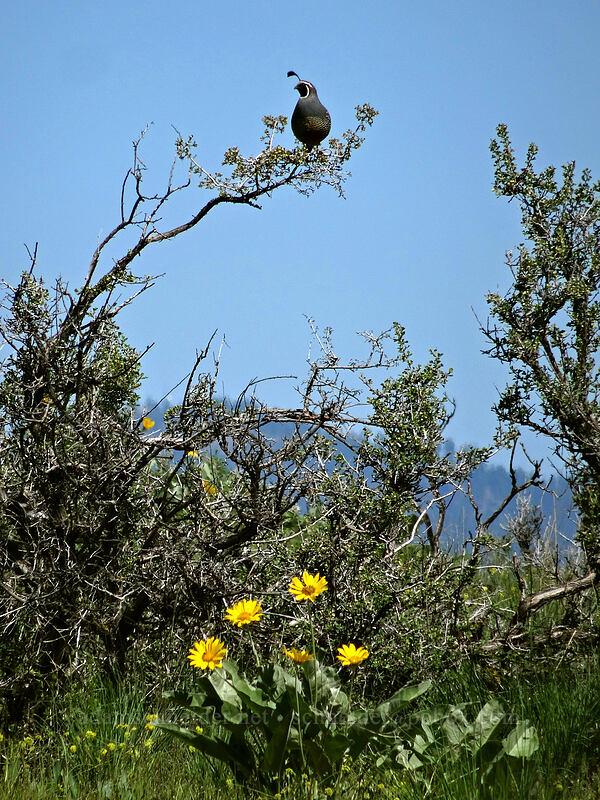 California quail (Callipepla californica) [Saddle Rock Trail, Wenatchee, Washington]