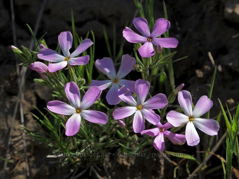 long-leaf phlox (Phlox longifolia) [Saddle Rock Trail, Wenatchee, Washington]