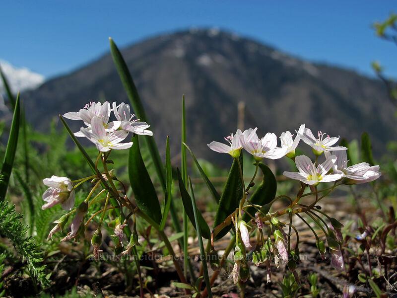 lance-leaf spring beauty (Claytonia lanceolata) [Rat Creek Ridge Trail, Wenatchee National Forest, Washington]