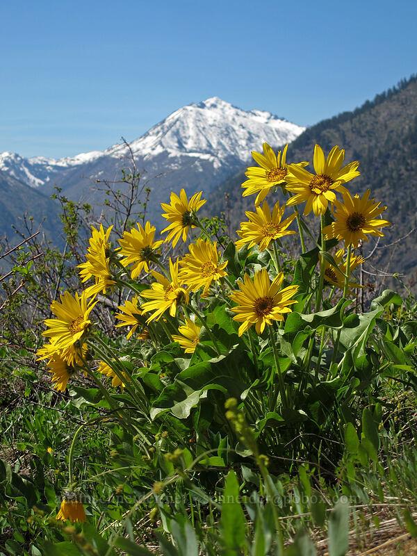 balsamroot & Cashmere Mountain (Balsamorhiza sagittata) [Rat Creek Ridge Trail, Wenatchee National Forest, Washington]