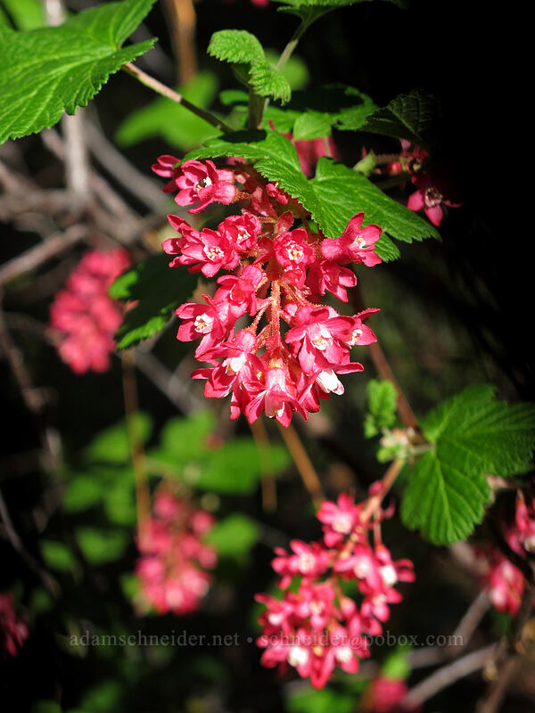 red-flowered currant (Ribes sanguineum) [Canyon Crest Trail, CDLT Mountain Home Property, Washington]