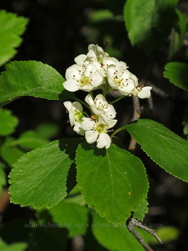 black hawthorn flowers (Crataegus douglasii) [Umtanum Recreation Area, Kittitas County, Washington]