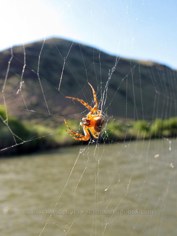 spider on a bridge [Umtanum Recreation Area, Kittitas County, Washington]