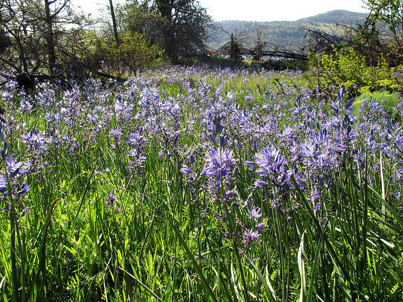 camas (Camassia quamash) [Catherine Creek, Klickitat County, Washington]