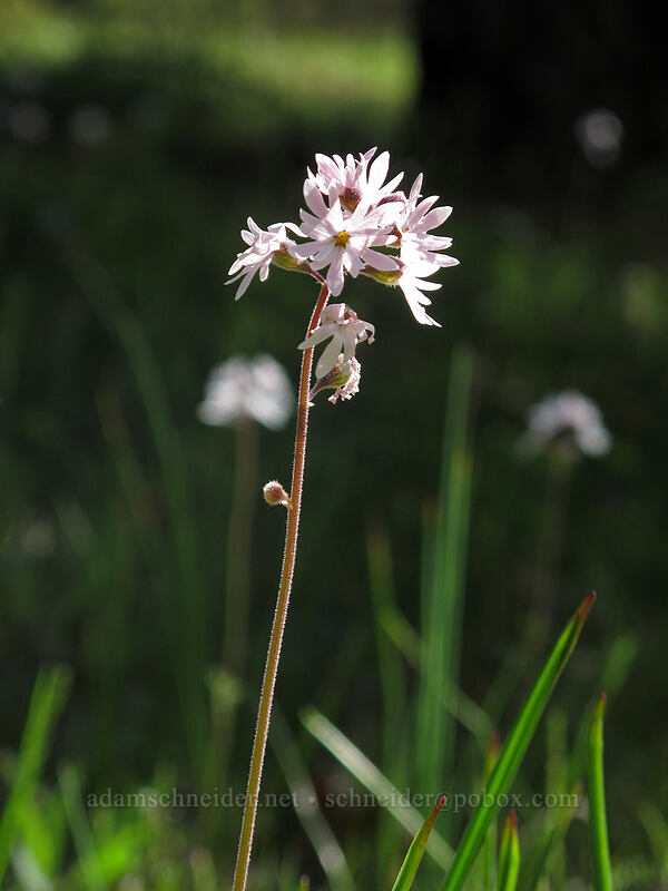 prairie stars (Lithophragma sp.) [Catherine Creek, Klickitat County, Washington]
