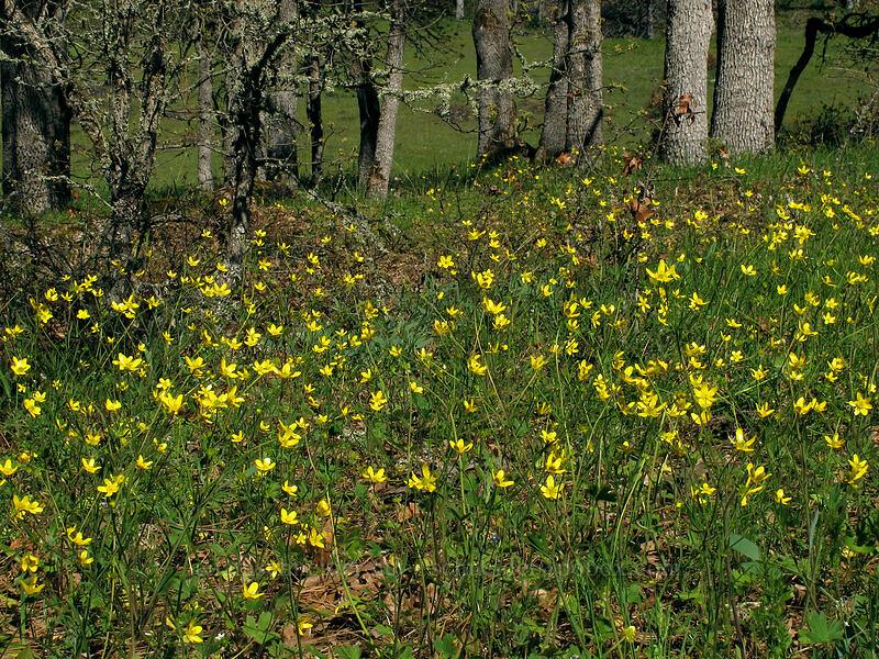 buttercups (Ranunculus occidentalis) [Catherine Creek, Klickitat County, Washington]