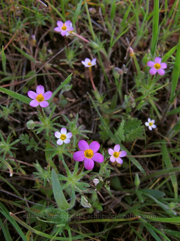 true baby-stars (Leptosiphon bicolor (Linanthus bicolor)) [Catherine Creek, Klickitat County, Washington]