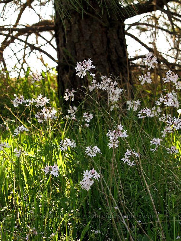 prairie stars (Lithophragma sp.) [Catherine Creek, Klickitat County, Washington]