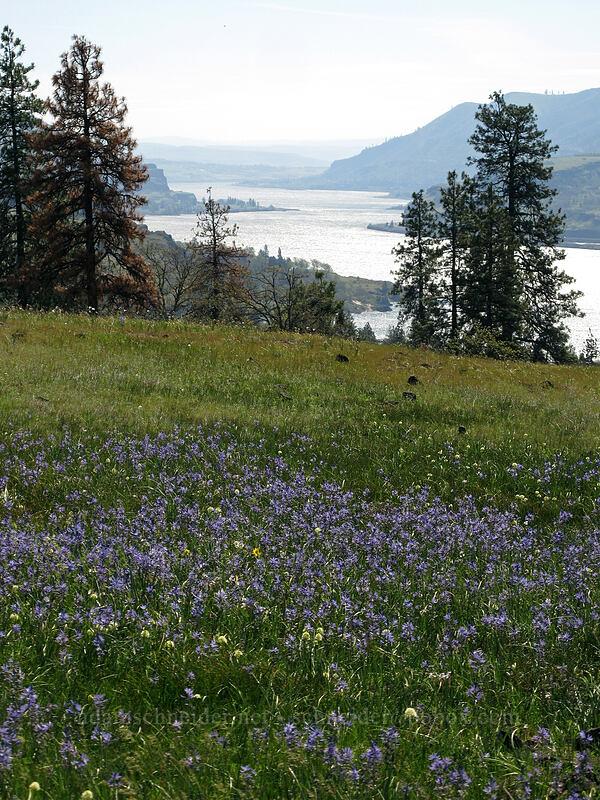 camas (Camassia quamash) [Catherine Creek, Klickitat County, Washington]