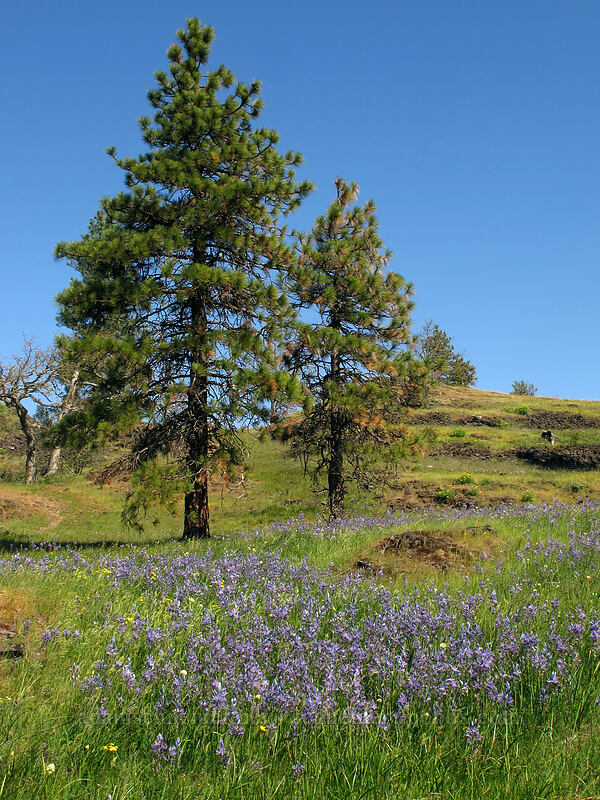 camas & ponderosa pines (Camassia quamash, Pinus ponderosa) [Catherine Creek, Klickitat County, Washington]