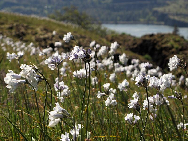 bi-colored cluster lily (Triteleia grandiflora ssp. howellii (Brodiaea bicolor)) [Catherine Creek, Klickitat County, Washington]