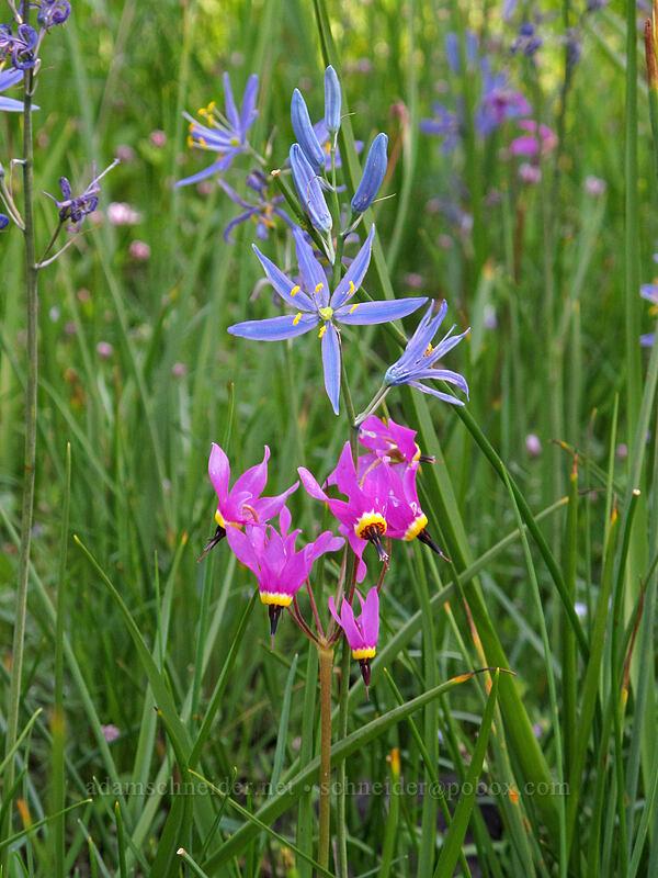 camas & shooting stars (Camassia quamash, Dodecatheon conjugens) [Catherine Creek, Klickitat County, Washington]