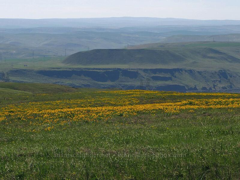 balsamroot & Signal Hill (Balsamorhiza careyana) [Dalles Mountain Road, Klickitat County, Washington]