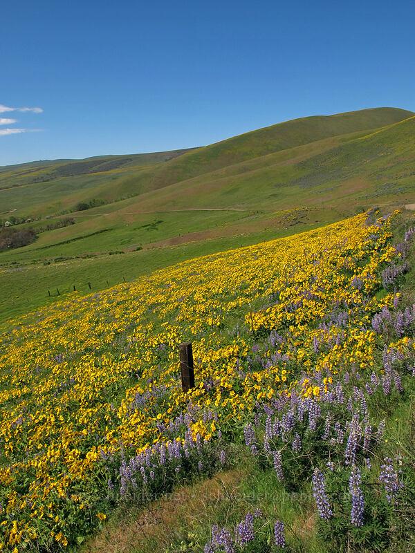 balsamroot & lupine (Balsamorhiza careyana, Lupinus latifolius) [Dalles Mountain Road, Klickitat County, Washington]