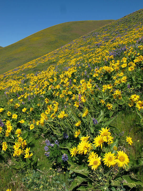 balsamroot & lupine (Balsamorhiza careyana, Lupinus latifolius) [Dalles Mountain Road, Klickitat County, Washington]