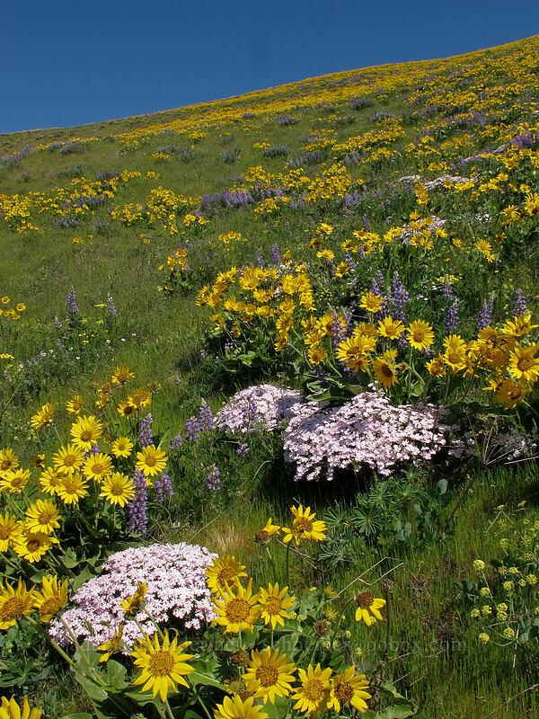 balsamroot, lupine, & showy phlox (Balsamorhiza careyana, Lupinus latifolius, Phlox speciosa) [Dalles Mountain Road, Klickitat County, Washington]