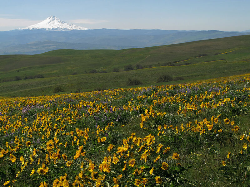 balsamroot, lupine, & Mt. Hood (Balsamorhiza careyana, Lupinus latifolius) [Dalles Mountain Road, Klickitat County, Washington]