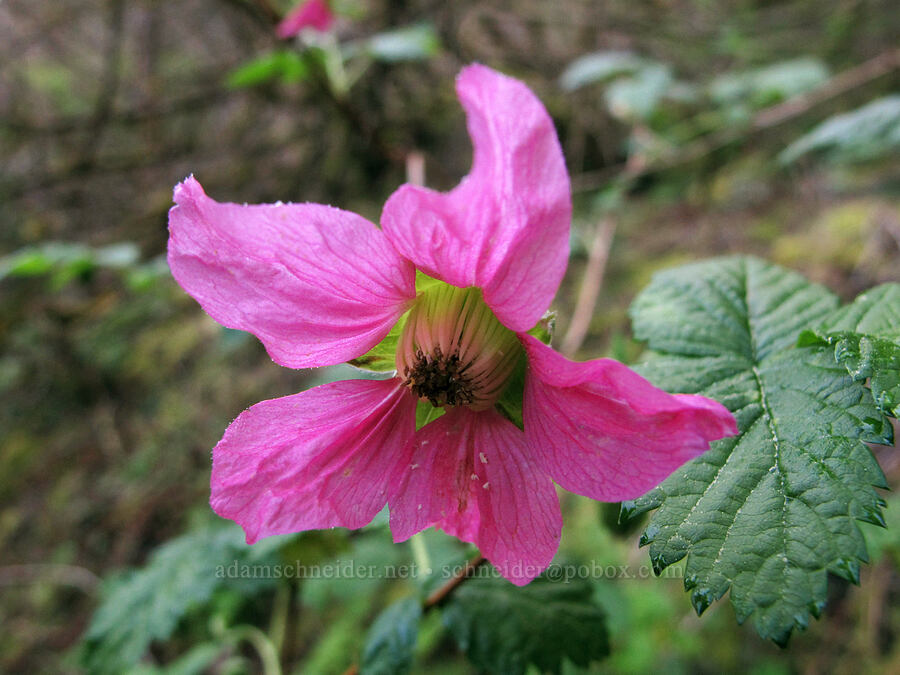 salmonberry flower (Rubus spectabilis) [Gorge Trail #400, John B. Yeon State Park, Oregon]
