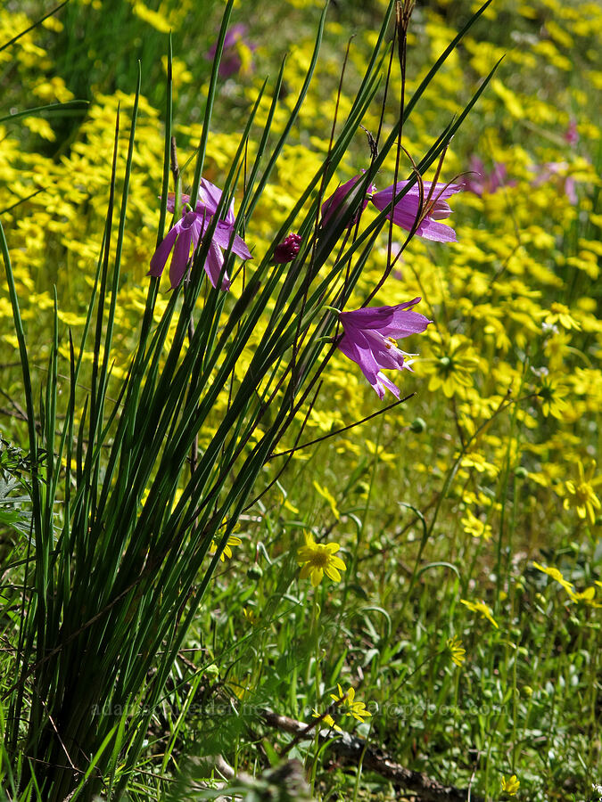 grass-widows & gold stars (Olsynium douglasii, Crocidium multicaule) [Munra Point Trail, Columbia River Gorge, Oregon]