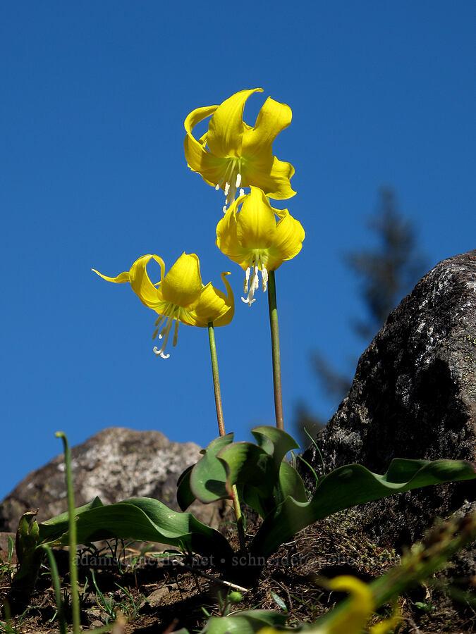 glacier lilies (Erythronium grandiflorum) [Munra Point Trail, Columbia River Gorge, Oregon]
