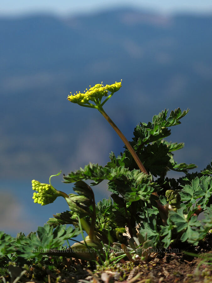 Cascade desert parsley (Lomatium martindalei) [Munra Point, Columbia River Gorge, Oregon]