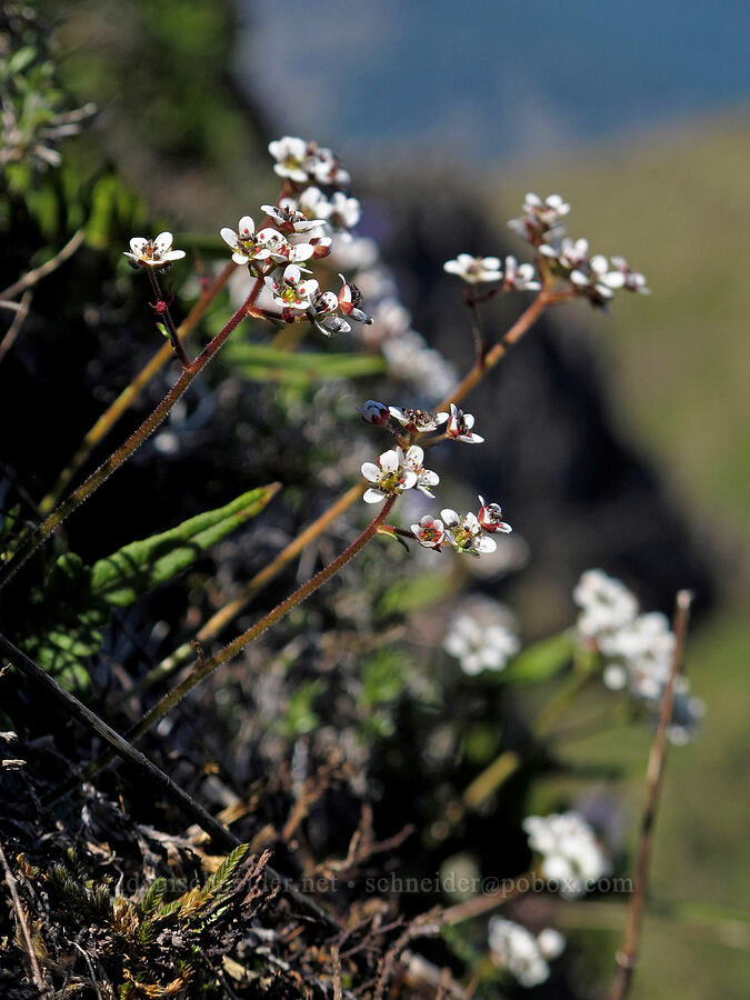 western saxifrage (Micranthes occidentalis) [Munra Point, Columbia River Gorge, Oregon]