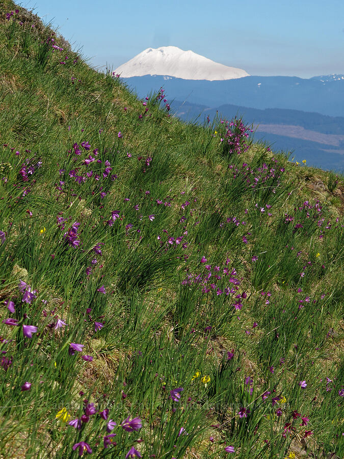 grass-widows & Mt. Adams (Olsynium douglasii) [Munra Point, Columbia River Gorge, Oregon]