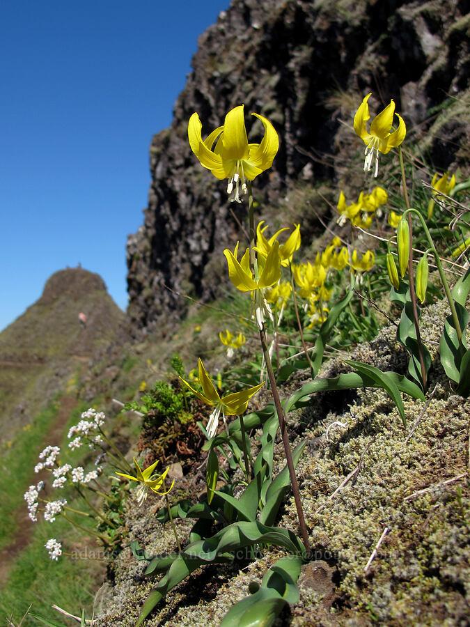 glacier lilies (Erythronium grandiflorum) [Munra Point, Columbia River Gorge, Oregon]