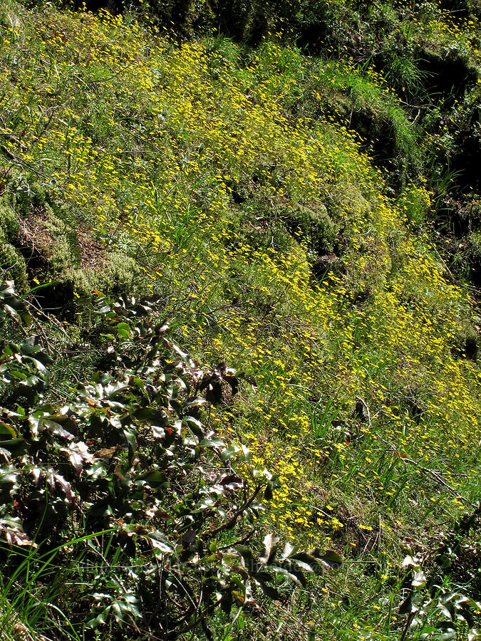 gold stars & Oregon-grape leaves (Crocidium multicaule, Mahonia sp. (Berberis sp.)) [Munra Point Trail, Columbia River Gorge, Oregon]