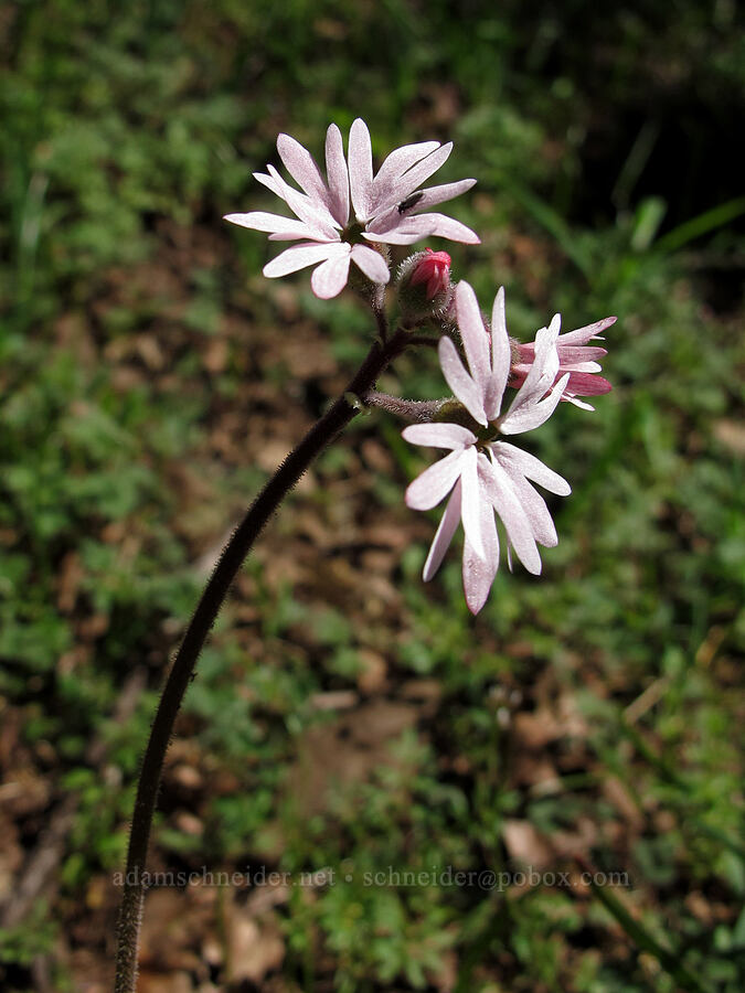 prairie star (Lithophragma sp.) [Munra Point Trail, Columbia River Gorge, Oregon]