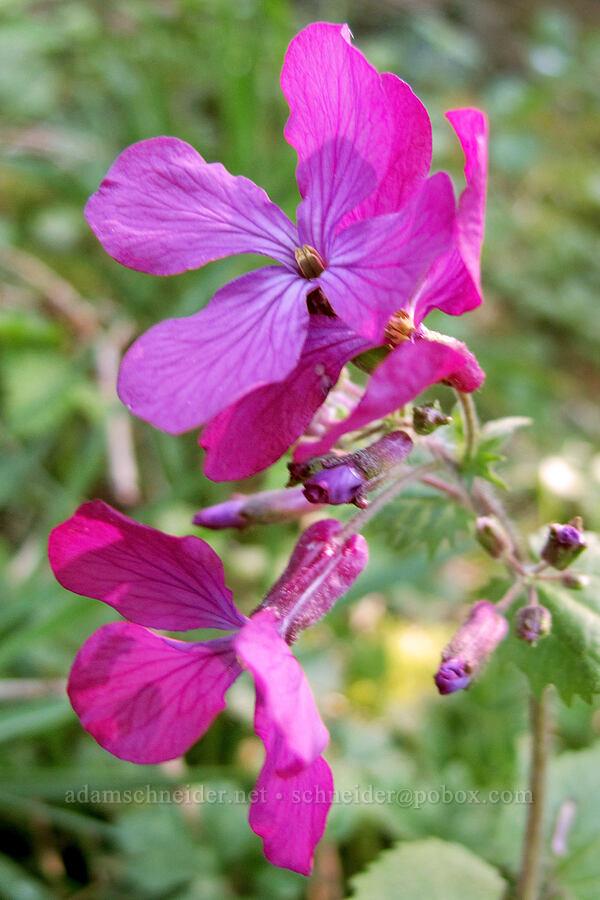 honesty (money plant) (Lunaria annua) [Gorge Trail #400, John B. Yeon State Park, Oregon]